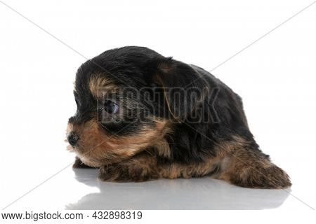 adorable yorkshire terrier dog looking to side and laying down on white background