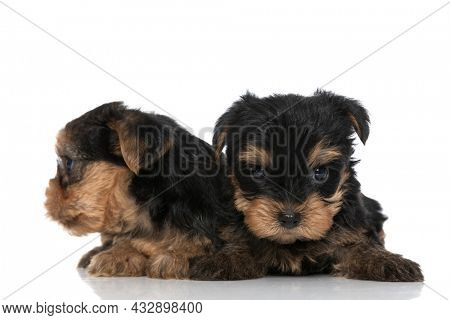 two sweet yorkshire terrier dogs laying down and looking to side on white background