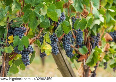 Beautiful Bunch Of Black Nebbiolo Grapes With Green Leaves In The Vineyards Of Barolo, Piemonte, Lan