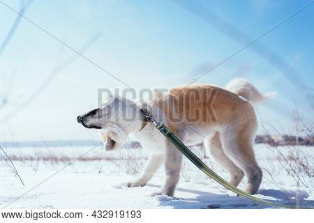 Akita Inu Puppy In A Snow Field In A Funny Pose Shakes Off The Snow In The Afternoon. Dog Games On T