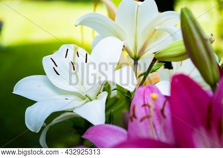 Lily Flower In The Garden. Shallow Depth Of Field.