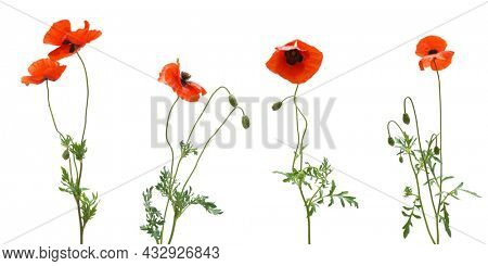 Set of poppies flower. Isolated object.