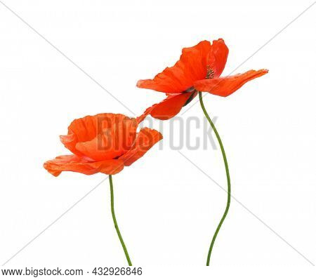 Poppies flowers on white. Isolated object.