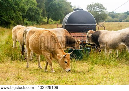 Limousin Cows In Bretagne, France. A Group Of Brown Cows Aubrac Graze In A Meadow In The Northern Fr