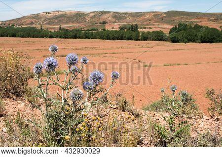 Close Up Of A Plant Of Globe Thistle, Echinops Ritro In A Sunny Landscape Near Teruel City. Aragon,