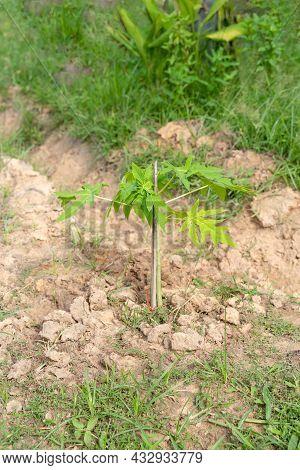 Young Carica Papaya Trees (papaya), Herbaceous Plant