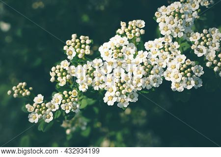Thunberg Spiraea White Flowers On A Dark Green Background. Nature Background, Selective Focus