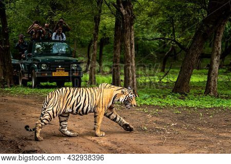 Ranthambore National Park, Rajasthan, India - August 10, 2018 - Wild Royal Bengal Tiger In Open Duri