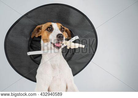 Jack Russell Terrier Dog In Witch Hat Holding Chicken Paw For Casting Spells On White Background.