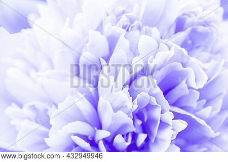 Defocused Pastel, Lilac Dahlia Petals Macro, Floral Abstract Background. Close Up Of Flower Dahlia F