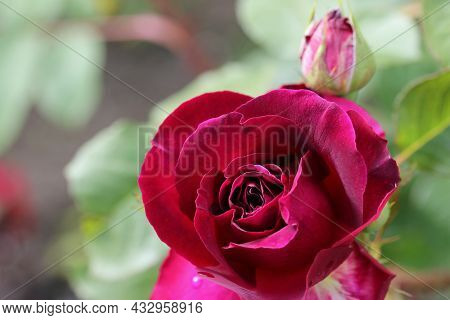 Red Rose Flower, Rosa Species Of Unknown Variety, In Close Up With A Background Of Blurred Leaves An