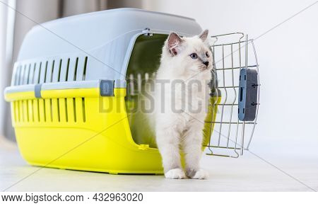 Adorable ragdoll cat goes out from pet carrying for transportation and looking back. Purebred fluffy domestic feline animal and basket with metal lattice opened
