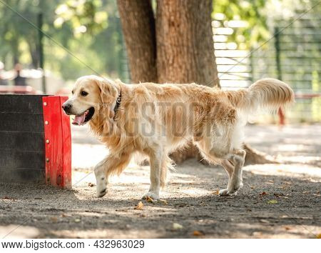 Golden retriever dog walking outdoors in the park at summer. Doggy pet portrait at nature in sunny day