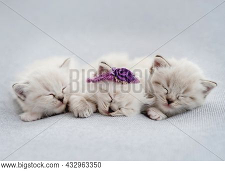 Three adorable fluffy ragdoll kittens sweety sleeping together on light blue fabric during newborn style photoshoot in studio. Cute kitty wearing flower decoration napping