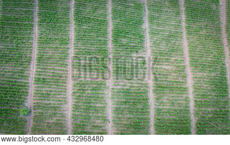 Aerial View Of The Plowed Field  Green Nature Agricultural Farm Background, Top View Ginger Tree Fro