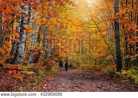 Bright Maple and Silver birch trees along forest trail in Michigan Upper peninsula during autumn time