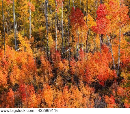 Bright fall foliage of Aspen and Cotton wood trees