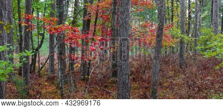 Colorful Maple trees in the middle of Coniferous forest in rural Michigan upper peninsula
