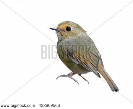 Lovely Chubby Brown Bird In Bunny Stances Isolated On White Background, Rufous-browed Flycatcher (an