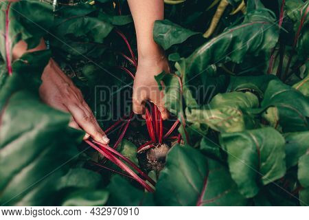 Caucasian Womans Hands With Beet During Harvesting On Farm. Bed In Vegetable Garden. Ecologically Fr
