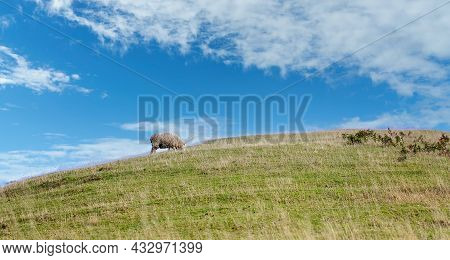 One Lone Sheep Peacefully Grazing On A Hillside With Cloudy Blue Sky Background