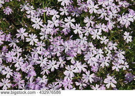 Beautiful Flowers Phlox Awl-shaped, Phlox Subulata Close-up In The Garden.