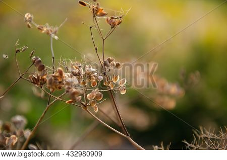Withered Dry Plant With Fallen Seeds On Umbrella Floscule. Natural Background Of Wild Dried Flowers.