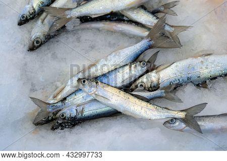 Coregonus Albula - Fresh Water Salmonidae Family Fish On Ice. Ice Fishing In Winter.