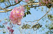 Pink Trumpet Or Tatebuia Blossom In Blue Sky poster