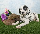 Dalmatian puppy laying in the grass with rocks and wild flowers around her. poster
