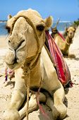Two sitting camels on beach - front view Kenya poster
