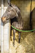 brown beautiful horse in its stall, sunny day poster