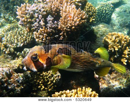Black-blotched Porcupinefish And Reef