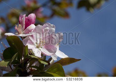 Pink Flowering Crabapple Blossom Background