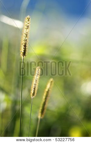 Beautiful Glow Grass Flower In Nature