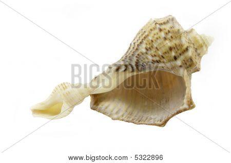 Rapa Shells