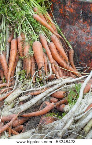 Fresh Harvest Of Carrots.