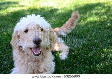 Goldendoodle dog in grass