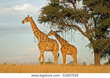 Two giraffes (Giraffa camelopardalis) under a camel thorn (Acacia erioloba) tree, Kalahari, South Africa