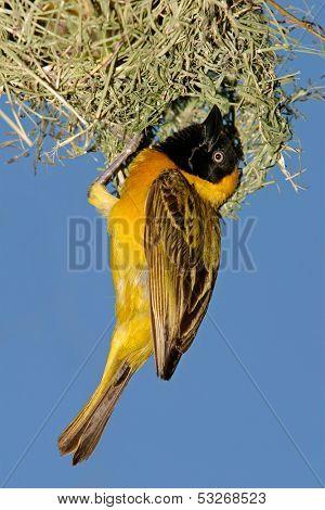 Male masked weaver (Ploceus velatus) hanging below its nest, South Africa