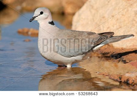Cape turtle dove (Streptopelia capicola) drinking water, Kalahari, South Africa