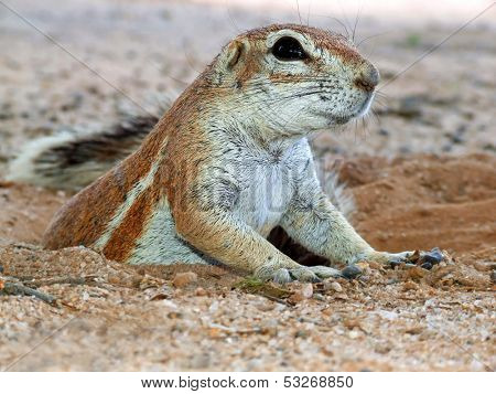 Close-up of a ground squirrel (Xerus inaurus) emerging from his burrow, Kalahari desert, South Africa