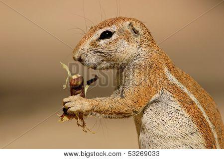 Close-up of a feeding ground squirrel (Xerus inaurus), Kalahari desert, South Africa