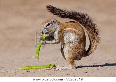 Feeding ground squirrel (Xerus inaurus), Kalahari desert, South Africa