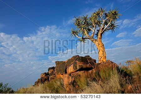 Desert landscape with granite rocks and a quiver tree (Aloe dichotoma), Namibia, southern Africa