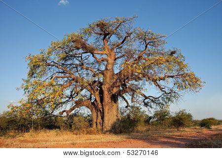 African baobab tree (Adansonia digitata), southern Africa