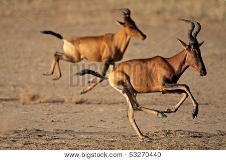 Red hartebeest (Alcelaphus buselaphus) running, Kalahari desert, South Africa
