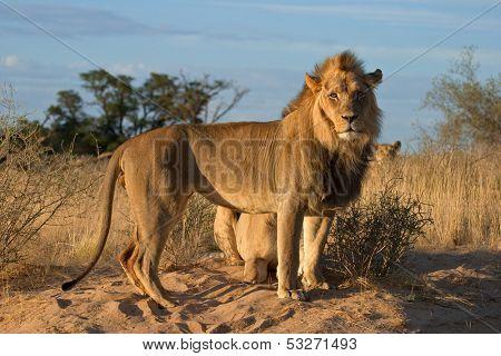 African lions (Panthera leo), Kalahari desert, South Africa