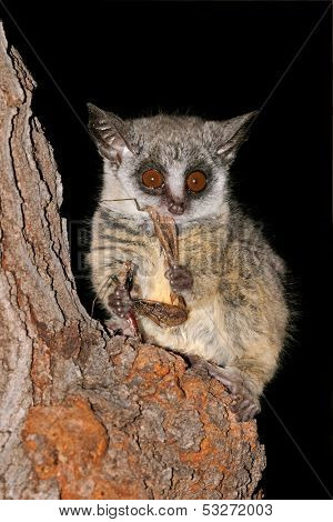 Nocturnal Lesser Bushbaby (Galago moholi) with insect prey, South Africa
