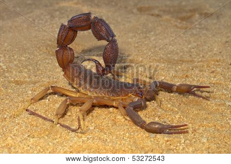 Aggressive scorpion (Parabuthus spp.), Kalahari desert, South Africa